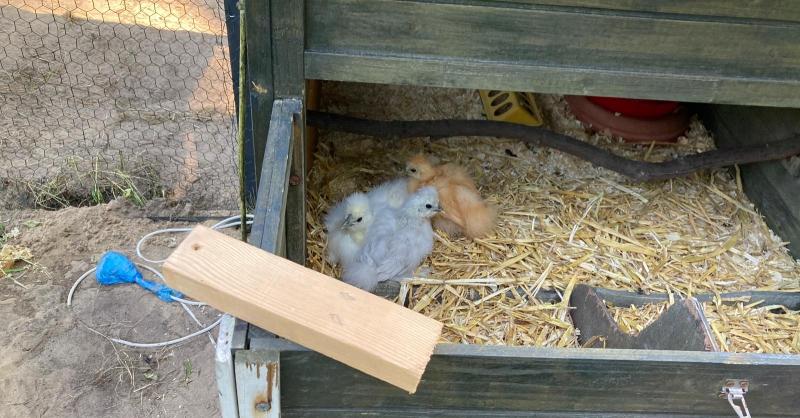 De kippies in hun nieuwe huisje