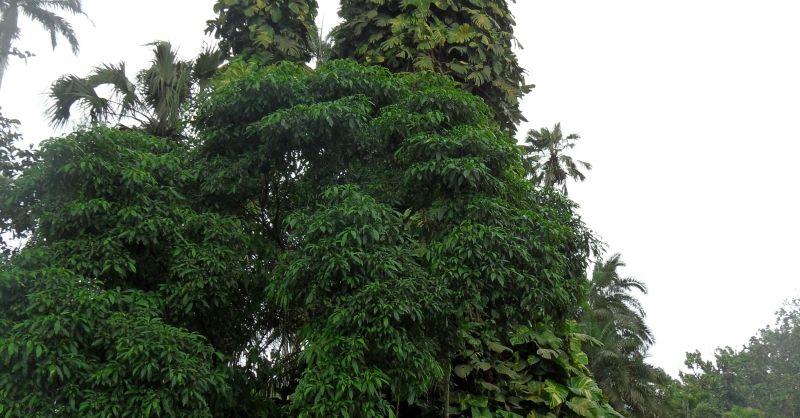 oudste boom in de botanische tuin