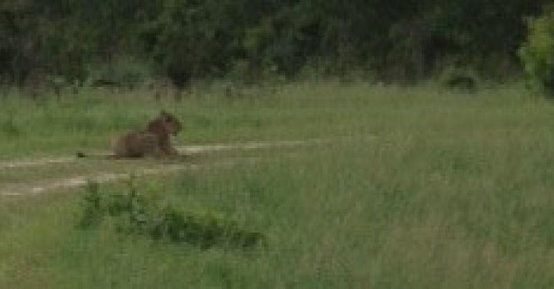 Een leeuw heel dichtbij