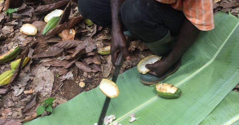 Eerste verwerking van de cacaovrucht
