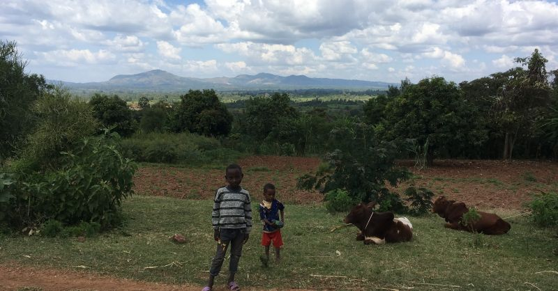 Children taking care of the cows