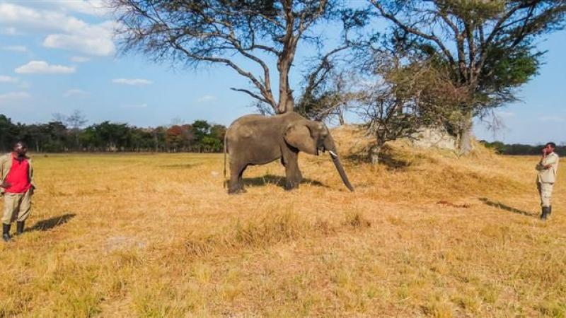Kan alleen in Zambia: een olifant in je achtertuin