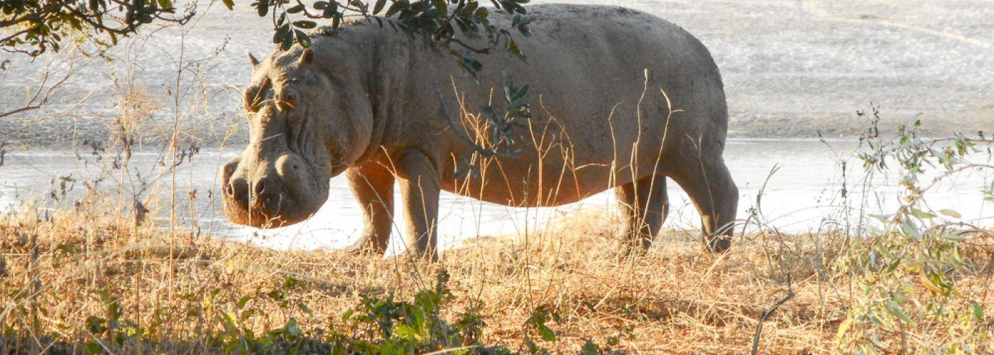 Natuurlijk gaan we wild spotten. Bijvoorbeeld dit nijlpaard.
